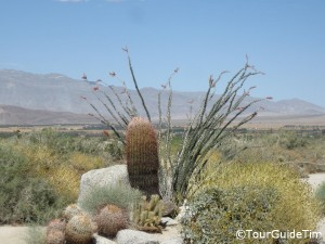 desert cactus and ocotillo